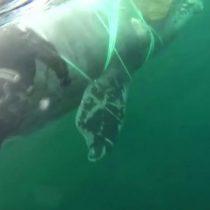 Chile: cómo lograron liberar a una ballena atrapada por una red de pesca