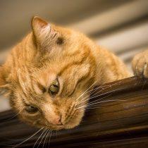 Mes de los gatos: Colegio Médico Veterinario llama a la tenencia responsable y a colaborar en el control de la sobrepoblación