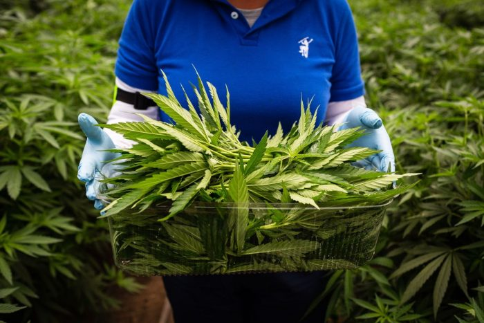 Canopy: el gigante de la marihuana se instala en Chile con sus productos