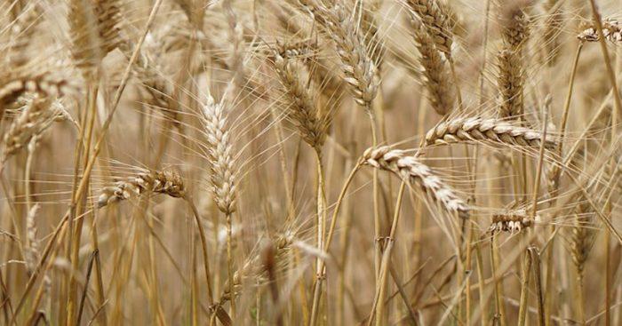 Más de 200 científicos describen con exactitud el genoma del trigo