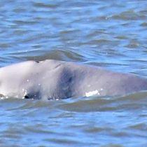 La ballena beluga que se perdió en medio del río Támesis cerca de Londres