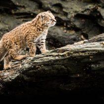 Científica chilena lidera proyecto para evitar extinción del felino más pequeño de América