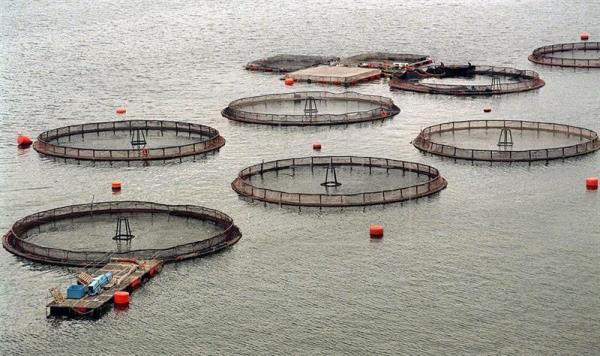 Advierten de daños al mar austral de Chile por producción de salmones