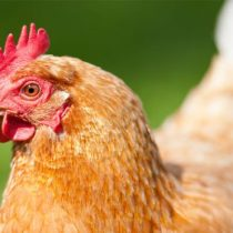 Carne in vitro: la empresa que produce pollo sin matar un solo animal