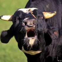 ¿El regreso de las vacas locas? Primero aparece en reses, y luego en humanos