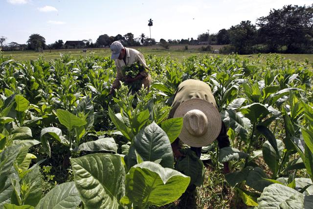 No solo los cigarrillos: el cultivo del tabaco impacta en el medio ambiente y perjudica el desarrollo
