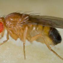 Con mosca del vinagre estudian trastornos de sueño observados en pacientes con autismo