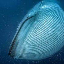Satélite ayuda a hacer un exhaustivo conteo de las ballenas del mundo