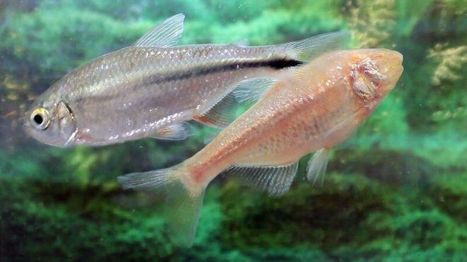 Los secretos de tetra, el pez mexicano que se repara su propio corazón (y lo que puede aprender de él la ciencia)
