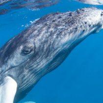 Los enormes tapones de cera de los oídos de las ballenas que relatan la historia de sus estresantes vidas