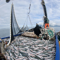La Estrategia de la Industria Pesquera; miente, miente que algo queda