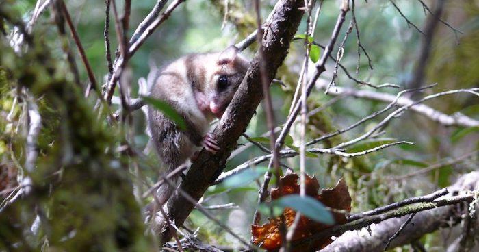 Científicos chilenos publican primer estudio a nivel mundial sobre los genes de la hibernación en marsupiales