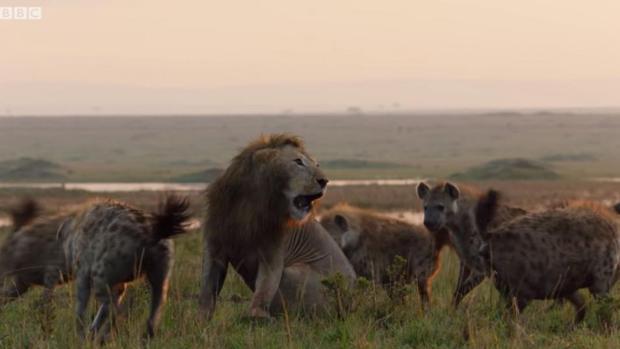 Un león es atacado por una veintena de hienas y es el video más angustiante de este año