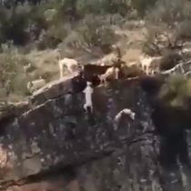 Terrible: 12 perros y un ciervo caen desde un barranco para no ser cazados