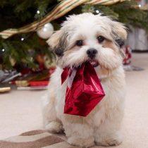 Consejos para atender al cachorro que llegó como regalo de Navidad