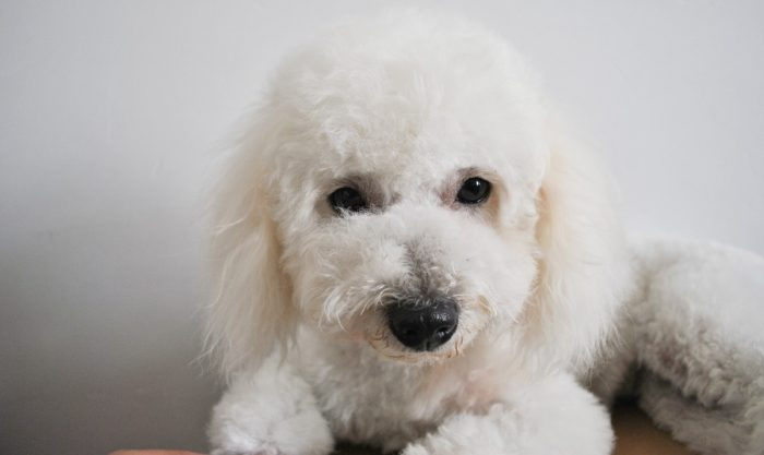 ¡Cuidado con las sobras! Los perros también pueden padecer diabetes