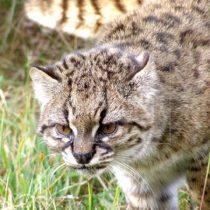 Buscan revertir en Chile peligro de extinción de la güiña, un leopardo diminuto