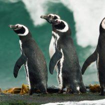Por qué la gran mayoría de los pingüinos que aparecen varados o muertos en las costas de Sudamérica son hembras