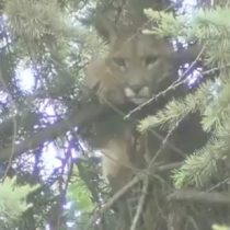 Así fue el rescate del puma atrapado en un árbol de Lo Barnechea