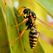 Picaduras de arañas, abejas y avispas: las más temidas del verano