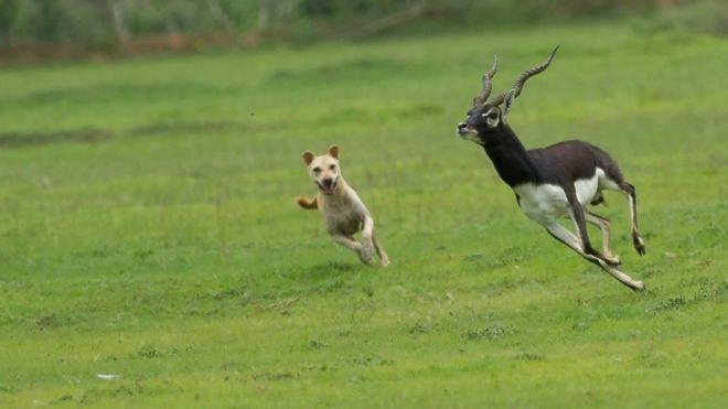 Cómo los perros se están convirtiendo en una seria amenaza para otras especies
