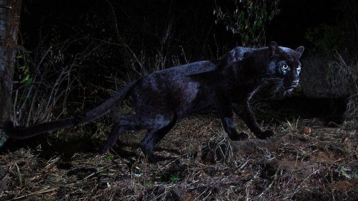 Avistan un leopardo negro por primera vez en 100 años