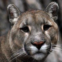 Puma murió luego de ser atropellado en la ruta 5 Sur de La Araucanía