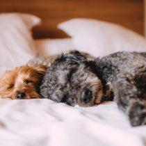 """Con escaso registro de mascotas y deficiente fiscalización comienza a regir """"Ley Cholito"""""""