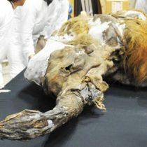 Cómo científicos en Japón lograron activar células de un mamut de 28.000 años