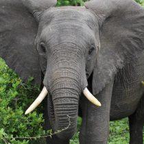 África juega sus últimas cartas para salvar al elefante