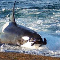 Avistan nuevo tipo de ballena depredadora y no descrita por la ciencia en la Patagonia chilena