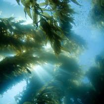 Científicos evalúan el impacto del retroceso glaciar de los bosques de algas debido al Cambio Climático