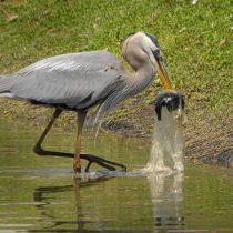 Globos que matan: plásticos ligeros son los mayores responsables de la muerte de aves marinas