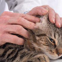 Ojo: Los gatos necesitan ayuda para limpiar sus orejas