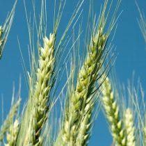 Estudio del (CR)2 indica que cambios en las precipitaciones podrían afectar cultivos de trigo de la zona central de Chile
