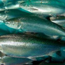 Por qué se cuestiona que Noruega siga trayendo salmoneras a nuestro territorio