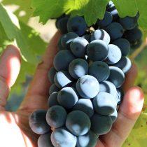 Conociendo los detalles de los que espera una viña de la vendimia