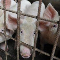 Por qué el precio del cerdo se dispara en el mundo