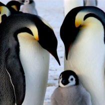 Pingüino emperador: la catástrofe que hizo que se ahogaran miles de crías en la Antártida