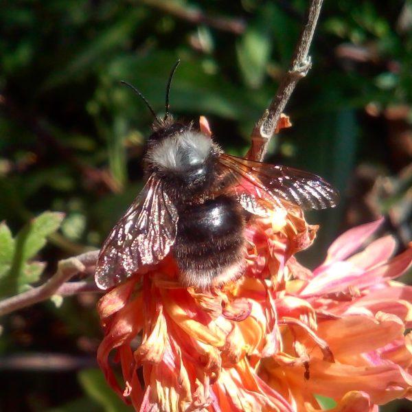 El apocalipsis de las abejas a manos de una abeja... exótica