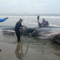 Ballena varada en playa de Tongoy muere pese a intentos por salvarla