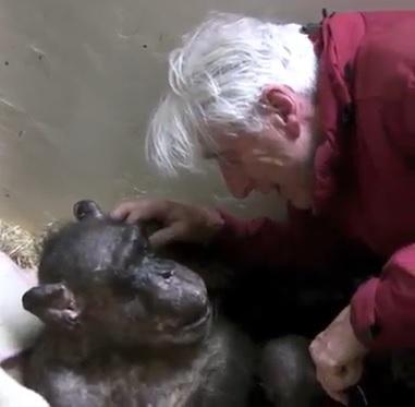 El emocionante reencuentro entre chimpancé anciana y su primer cuidador