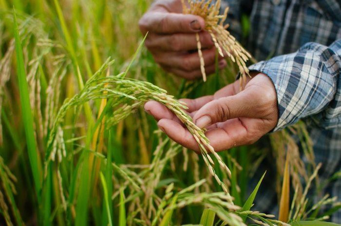 La Ruta de Arroz destacó lo mejor del cereal nacional