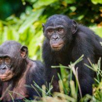 Bonobos, la especie en la que las madres controlan el comportamiento sexual de sus hijos varones