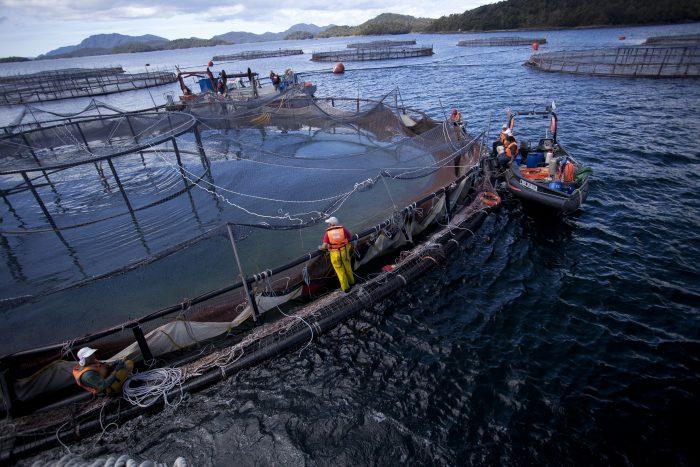Estado salmonero: el documental que denuncia los efectos de la salmonicultura en Chile y el mundo