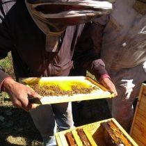 Estudio determina que miel de Alto Biobío es única en el mundo