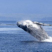 Elaboran normativa de navegación para proteger ballenas en aguas chilenas