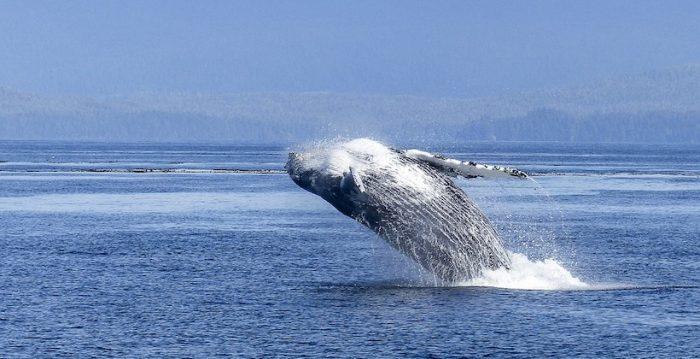 La contaminación acústica en el océano amenaza a las ballenas de Chile