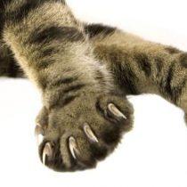 Garras de gato: ¿por qué los estadounidenses las amputan?