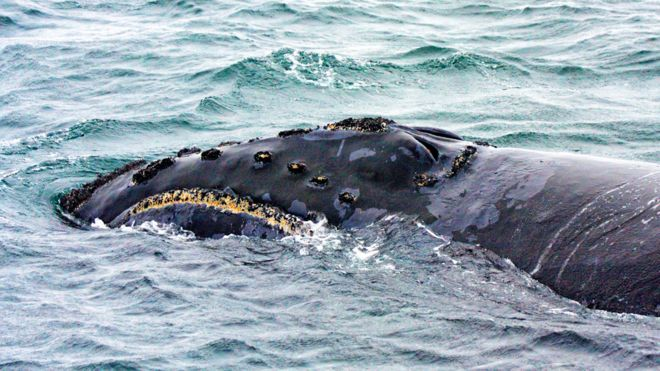 Científicos graban por primera vez el canto de una de las ballenas más desconocidas del planeta